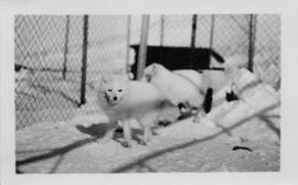 White Foxes